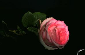 �����, ����, leaves, petals, ��������, ������, ��������, �����, ����, bud, rose, blossoms