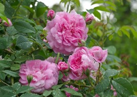 �����, ����, blossoms, leaves, petals, bud, ��������, ������, ��������, �����, ����, rose