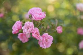�����, ����, ����, petals, bud, rose, ��������, ������, ��������, �����, blossoms, leaves