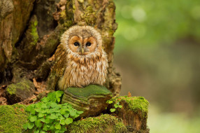 ��������, ����, nature, forest, �������, ���, ����, ������, owl, tawny, birds