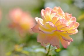 �����, ����, blossoms, leaves, petals, ��������, �����, ����, bud, rose, ��������, ������