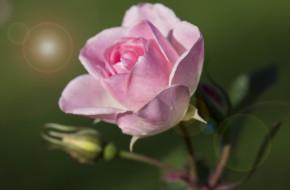 �����, ����, blossoms, leaves, petals, bud, rose, ��������, ������, ��������, �����, ����