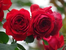 �����, ����, blossoms, ��������, ����, ������, ��������, �����, leaves, petals, rose, bud