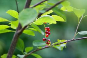 обои для рабочего стола 2048x1366 природа, Ягоды, листья, ветка, гроздь, макро