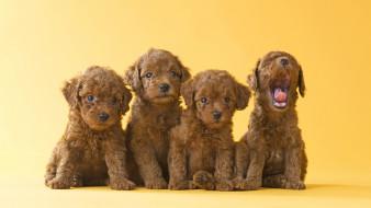животные, собаки, щенки, фон, жёлтый