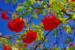 обои для рабочего стола 2048x1356 природа, Ягоды,  рябина, ягоды, рябина, листья, ветки, небо