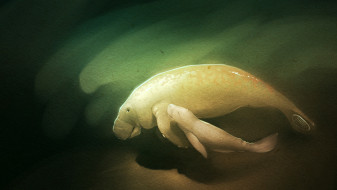 рисованное, животные, manatee, вода, глубина, ламантины, море