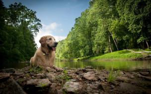 животные, собаки, лес, река, собака, мокрая, взгляд