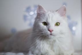 животные, коты, глаза, кошак, кошка, шерсть