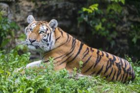 животные, тигры, тигр, амурский, кошка, взгляд, тигрёнок, котёнок, камень, мох