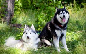 животные, собаки, хаски