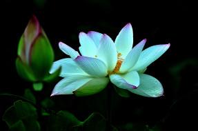 lotus, �����, ����� �������,  ������,  ��������, �����