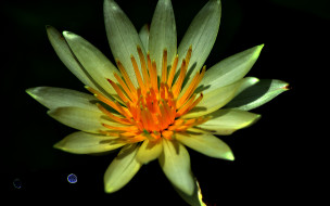 water lily, �����, ����� �������,  ������,  ��������, �����, �������