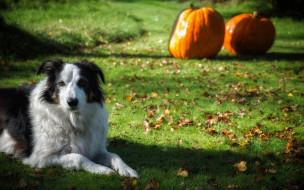 животные, собаки, тыква, газон, трава, друг, взгляд, собака