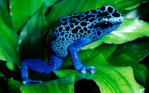 животные, лягушки, синяя, листья, лягушка, пятна