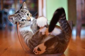 животные, коты, посуда, котяра, кошак, кот