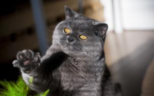 животные, коты, лапка, взгляд, котяра, кошак, кот