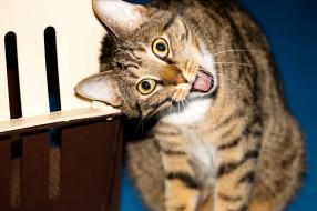 животные, коты, гримаса, взгляд, котяра, кошак, кот