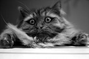 животные, коты, кошак, кошка, шерсть, глаза