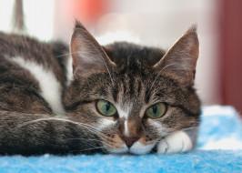 животные, коты, кот, кошка, взгляд, ушки