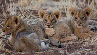 животные, львы, львята