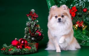 животные, собаки, шпиц, елка, новый, год