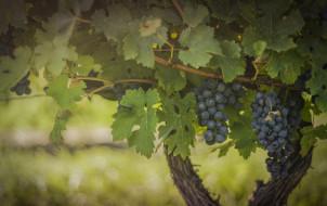 природа, Ягоды,  виноград, зелёный, виноградник, листва, плоды, гроздь, синий