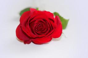�����, ����, �����, rose, ��������, bud, bloom, ����