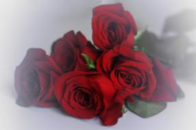 �����, ����, ����, rose, ��������, ������, �����, blossoms, leaves, petals, bud, ��������
