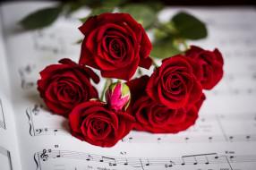 �����, ����, bud, rose, ��������, petals, leaves, blossoms, ����, ��������, �����, ������