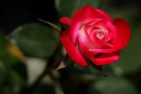 �����, ����, ��������, ������, rose, ��������, bud, blossoms, leaves, petals, ����, �����