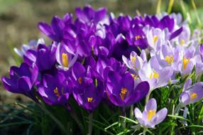 цветы, крокусы, фиолетовый, весна