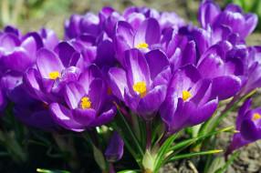 цветы, крокусы, весна, фиолетовый