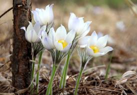 цветы, анемоны,  сон-трава, нежность, сон-трава, весна