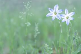 цветы, луговые , полевые,  цветы, светлые, белые, голубые, зеленый, цвет, весна, поляна, трава, природа, зелень, нежность, растения, лепестки