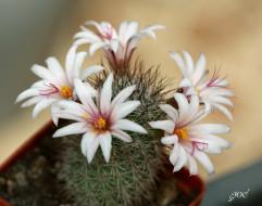 цветы, кактусы, кактус, колючки, красота