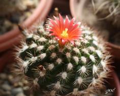 цветы, кактусы, колючки, красота, кактус