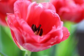 цветы, тюльпаны, много, цветение, разноцветные, лепестки