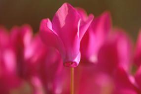 розовый, цветы, макро