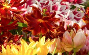 цветы, тюльпаны, весна