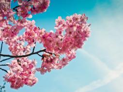 цветы, сакура,  вишня, розовые, нежность, небо, макро