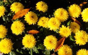 цветы, хризантемы, листья, осень, жёлтые, солнечно, куст