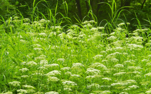 цветы, луговые , полевые,  цветы, луг, трава, лето