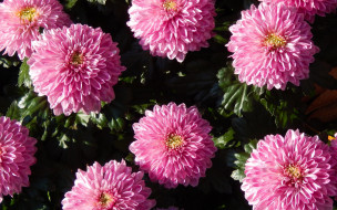 цветы, хризантемы, розовые