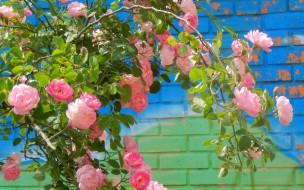 цветы, розы, куст, лепестки