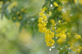 капли, мимоза, весна, нежность, жёлтые, цветы