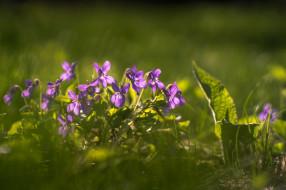 весна, трава, макро, фиалки