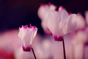 нежность, розовые, цветы, фон, макро