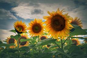 цветы, подсолнухи, поле, подсолнух