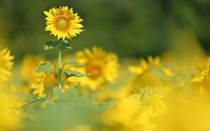 цветы, подсолнухи, природа, лето